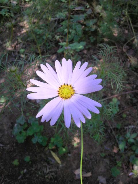 花弁の先が分かれているコスモス